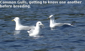 Common Gulls, getting to know one another
