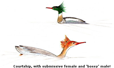 Courtship, with submissive female and 'bossy' male!